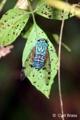 Sundown Cicada