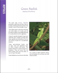 Wildlife in Central America 1 - Page 28 Green Basilisk
