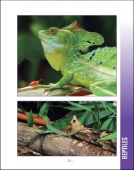 Wildlife in Central America 1 - Page 29 Green Basilisk